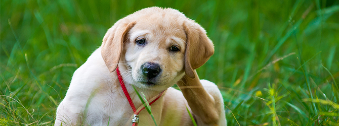 home remedies fleas on dogs